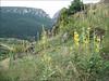 Verbascum speciosum (NL: Hongaarse koningskaars)