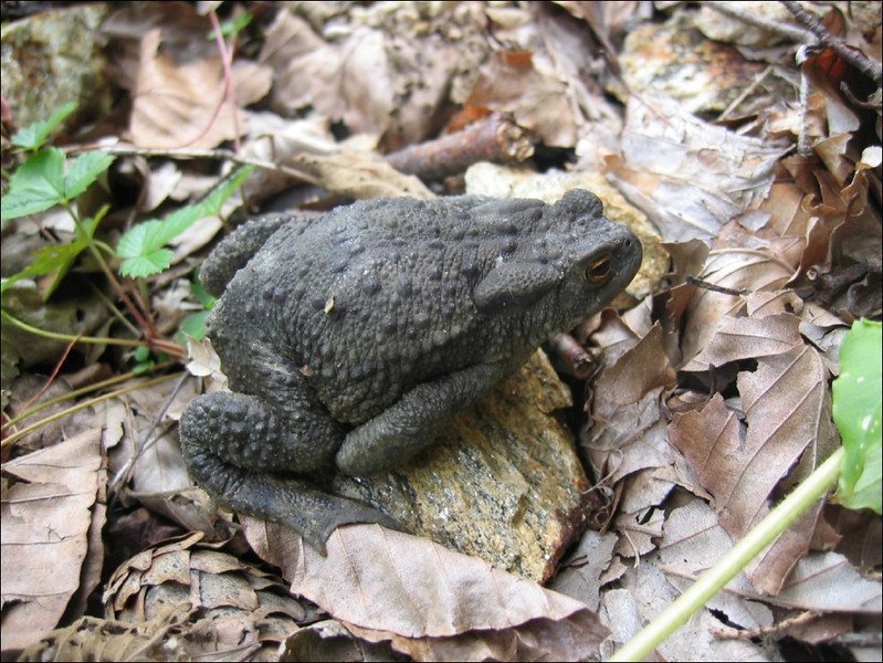 Bufo bufo, common toad, (NL: gewone pad)