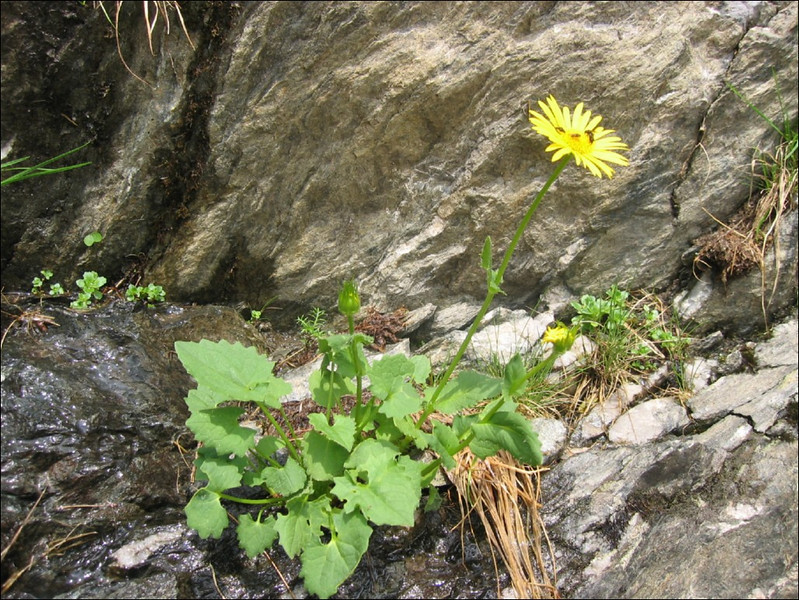 Doronicum columnae    (NL: hartbladig gemzekruid )