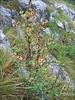 Berberis vulgaris     (NL: zuurbes)