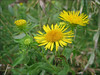 Inula britannica     (NL: Engelse alant)
