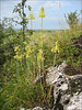habitat of Allium flavum     (NL: gele ui)