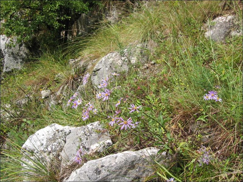 habitat of Aster amellus    (NL: bergaster), Turzii gorge