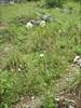 Cephalaria spec. (habitat)