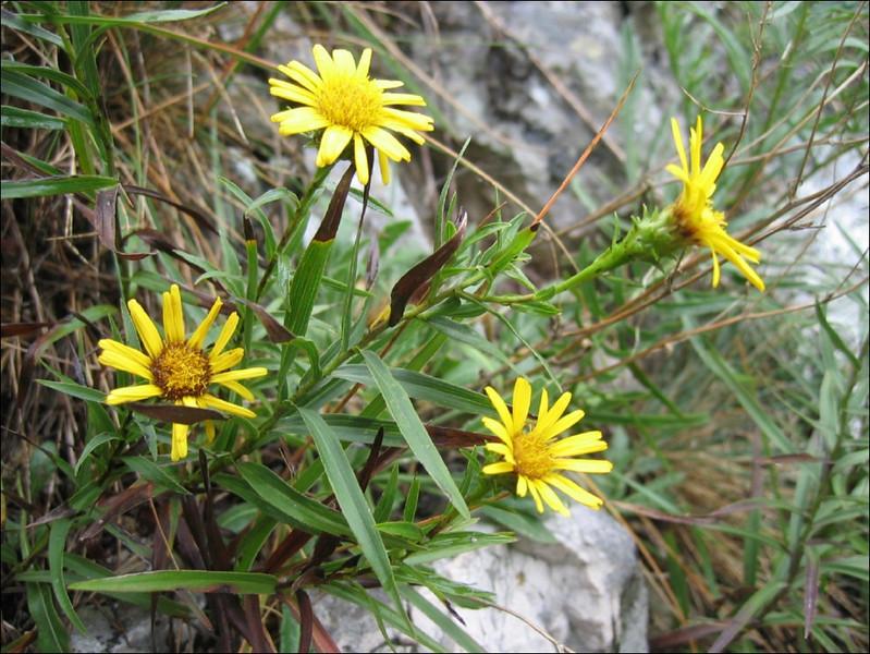 Inula salicina     (NL: weide alant)
