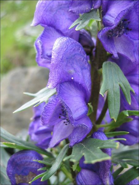 Aconitum napellus subs. tauricum       (close up flower)