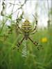 Argiope bruennichi       (NL: tijger- of wespspin)