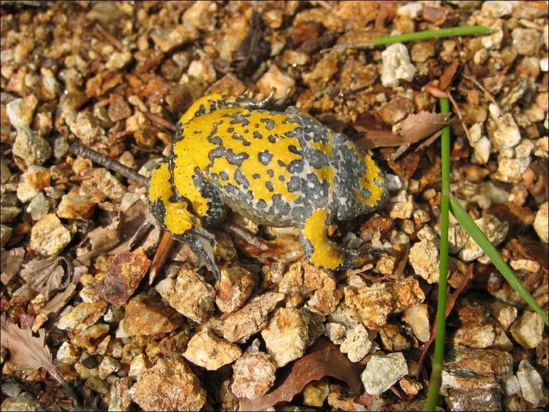 Bombina variegata, Yellow-bellied toad, (NL: geelbuikpad)