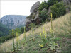 habitat of Verbascum speciosum (NL: Hongaarse koningskaars)