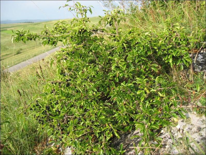 Prunus spinosa    (habitat)
