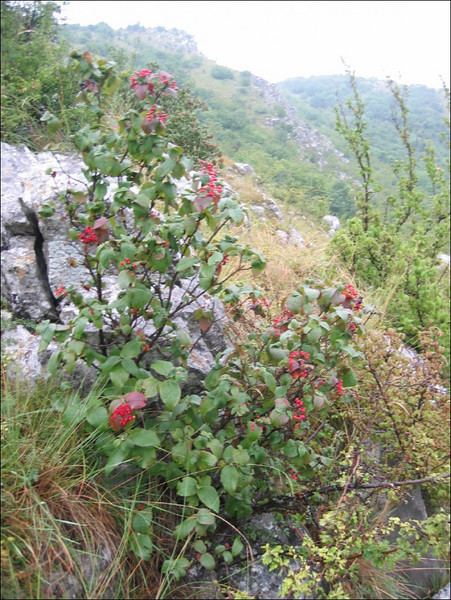 Shrub, Viburnum lanata      (near Turzii gorg)