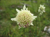 Cephalaria spec. (close up flower)
