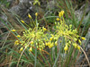 Allium flavum     (Turzii gorge)