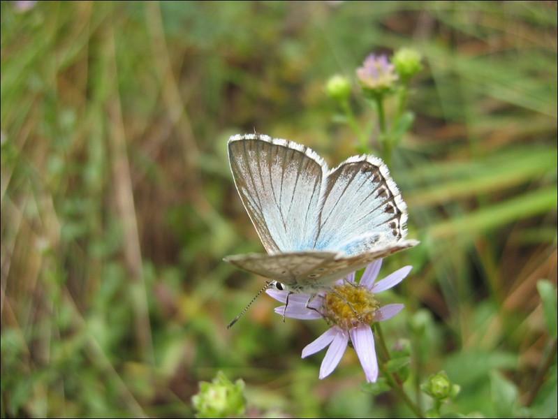 Lysandra coridon    (NL: blauwtje)
