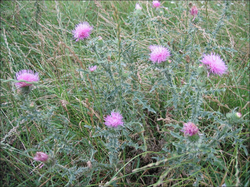 Carduus acanthoides     (NL: veeldoornige distel)