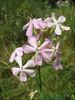 Saponaria officinalis    (NL: zeepkruid)