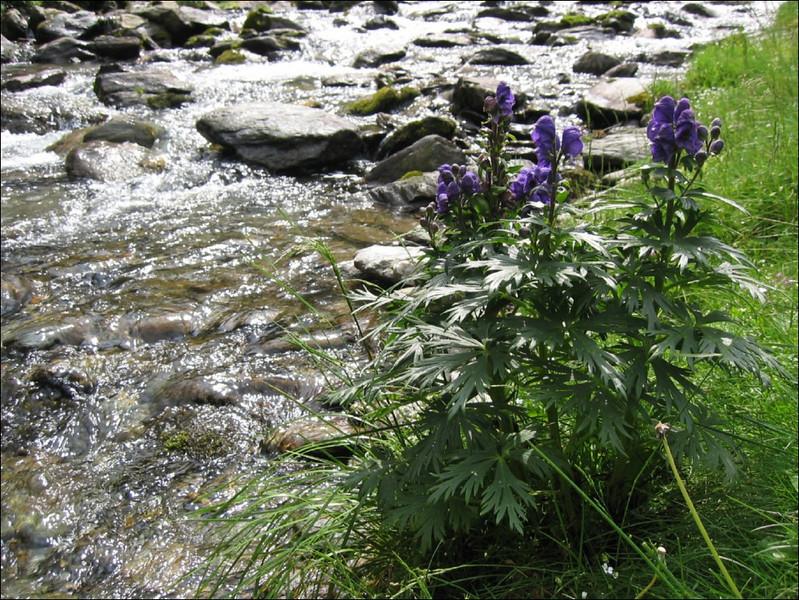 wet border flora (Aconitum napellus subs. tauricum)