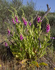 Digitalis thapsi