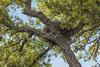 nest of Milvus migrans