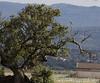 Elanus caeruleus