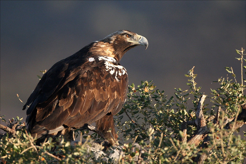 Aquila adalberti