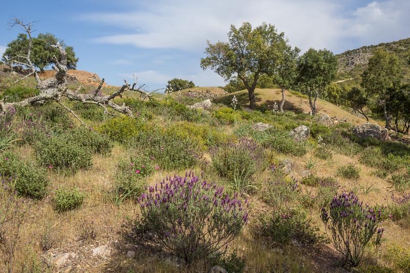 Lavandula stoechas ssp pedunculata; Asphodelus ramosus; Cistus crispus