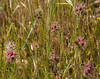 Trifolium stellatum