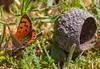 Lycaena dispar ssp batava