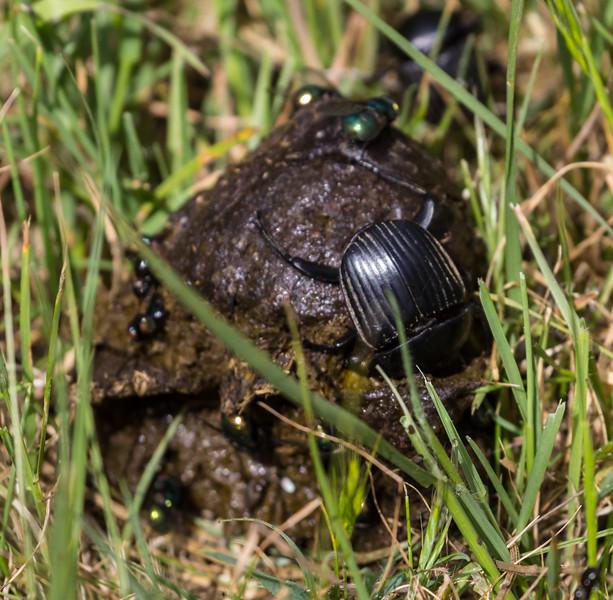 Scarabaeidae spec