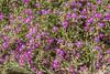 Spergularia purpurea