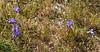 Gynandriris sisyrinchium