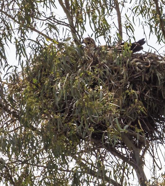 Nest of Aquila adalberti