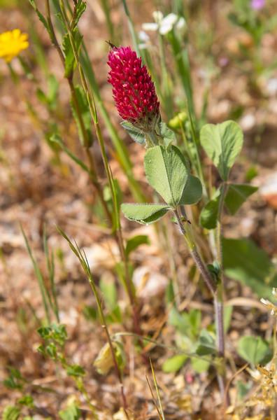 Trifolium incarnata