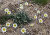 Leucanthemopsis pulverulenta