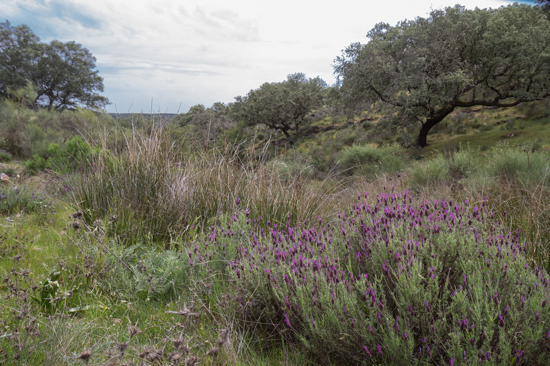 Lavandula stoechas ssp pedunculata
