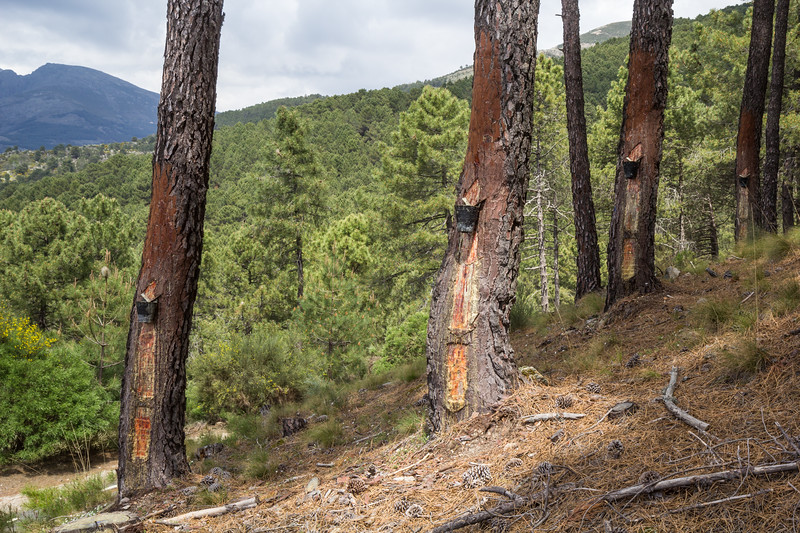 Collecting resin from pine trees