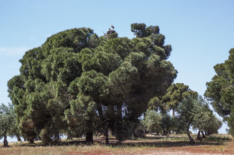 Ciconia ciconia nesting in Pinus pinea