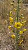 Verbascum laciniatum