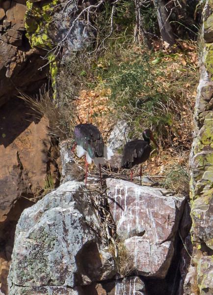 Ciconia nigra
