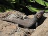 Gallotia stehlini (Gran Canaria Giant Lizard)