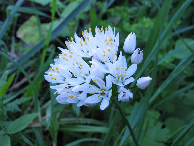 Allium canariensis,  Friesen et al., 2015