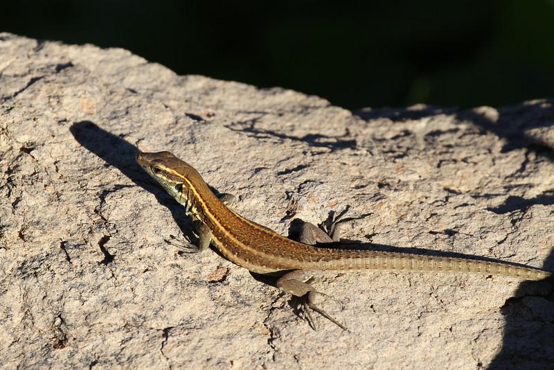 Gallotia caesans ssp. gomerae, La Gomera wall lizard or Boettger 's lizard, Jardin Botanico del Descubrimiento, Argaga, N of Vallehermoso