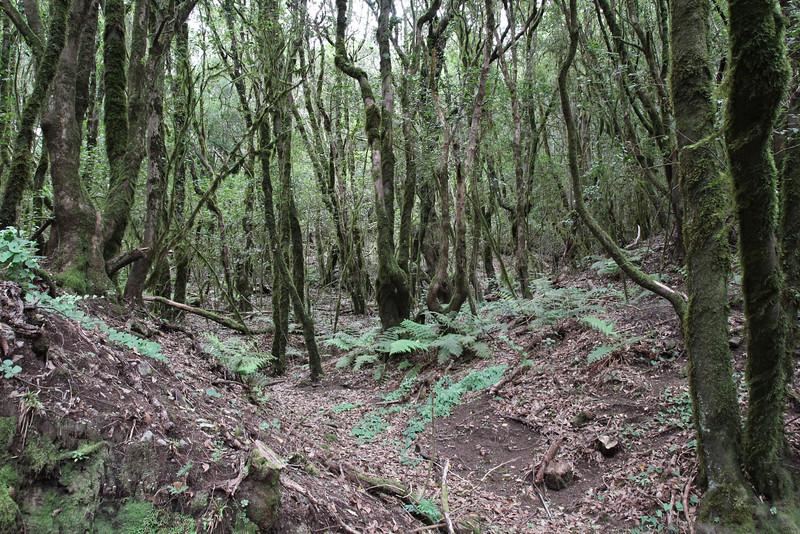 Laurel forest = Fern habitat, El Cedro 900m (before Barranco de Elcedro, Las Mimbreras )