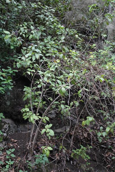 Viburnum rigidum, (syn. Viburnum tinus ssp rigidum) El Cedro 900m (before Barranco de Elcedro, Las Mimbreras )