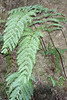 Woodwardia radicans, Lomo blanco