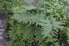 Polypodium macaronesicum, near the well/spring, Chorros de Epina, Epina (Q)