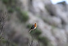Erithacus rubecula superbus, (NL: Canarische roodborst), near the well/spring, Chorros de Epina, Epina (Q)