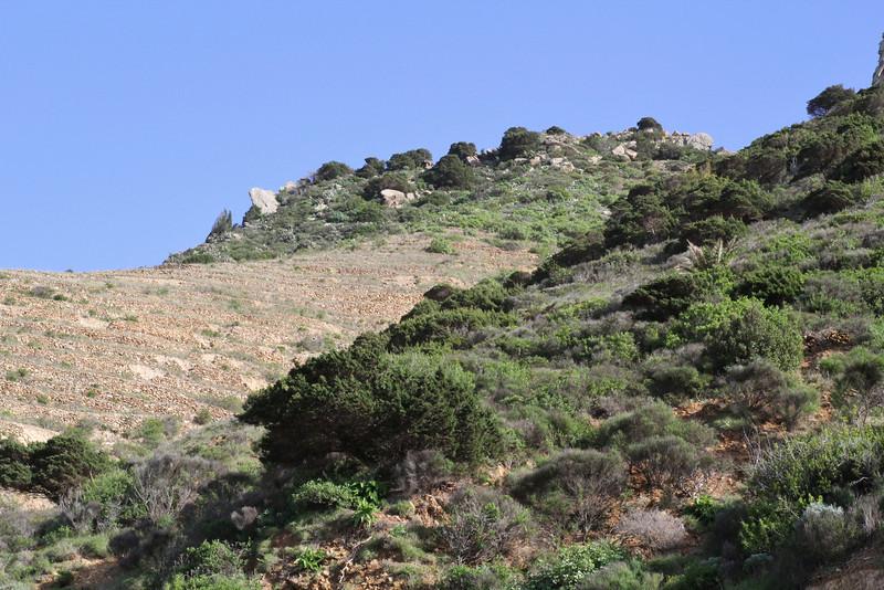Juniperus phoenicea ssp canariensis, W of Roque El Cano 650m, E of Vallehermoso (I)