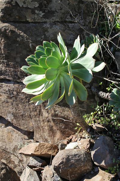 Aeonium appendiculatum, 4km S of Chipude (L)