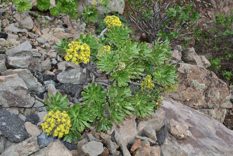 Aeonium holochrysum , 2km south of the mountain Eretos 1355m